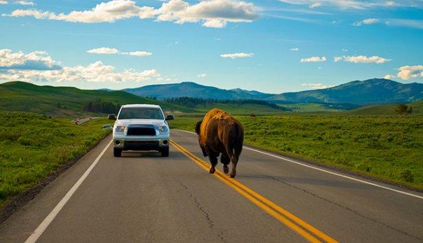 road-bison