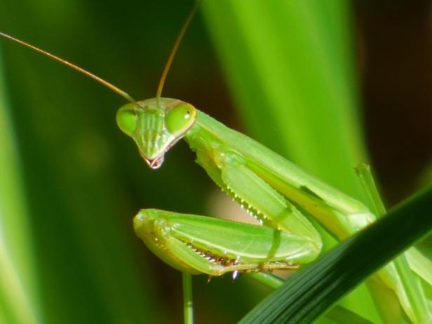 praying-mantis-closeup