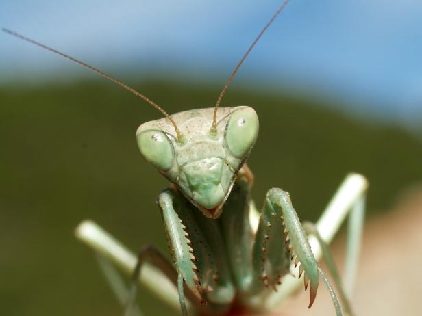 praying-mantis-up-close-wallpaper-11162-11594-hd-wallpapers.jpg