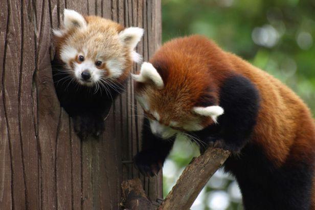 Red-Panda-11.jpg
