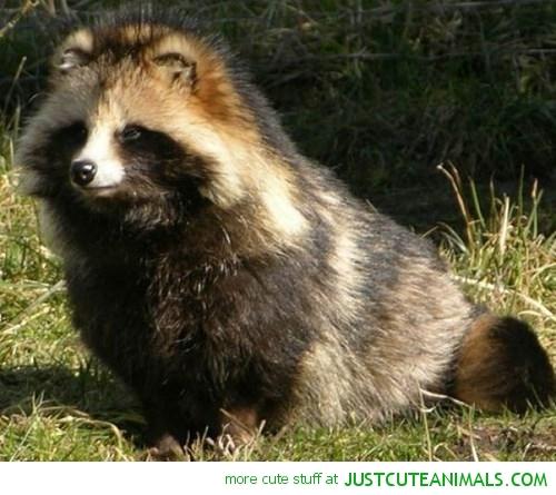 tanuki-raccoon-dog-cute-animal-pictures